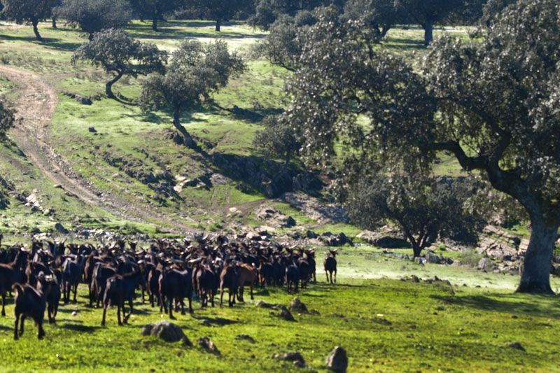 Sostenibilidad - La Dehesa es uno de los hábitats de la Cabra Verata