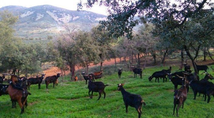Acriver se encarga de mantener una tradición en la cría de la Cabra Verata
