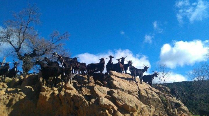 Nuestras cabras habitan entre gargantas, circos, riscos, galayos y depósitos morrénicos